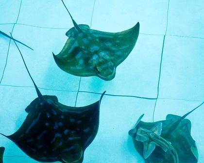 Australian Shark and Ray Nursery